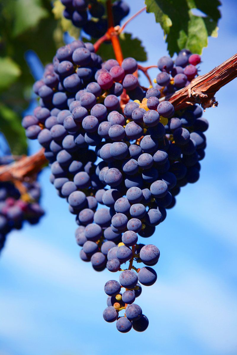 e-melnik-grape-harvest-2
